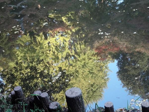 水鏡に映る紅葉(コンデジ)