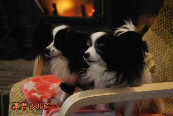 暖炉前で連君&ルビー