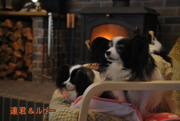暖炉前で連君&ルビー2