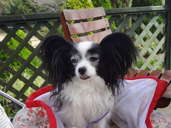 ルビーはバッグインで椅子の上