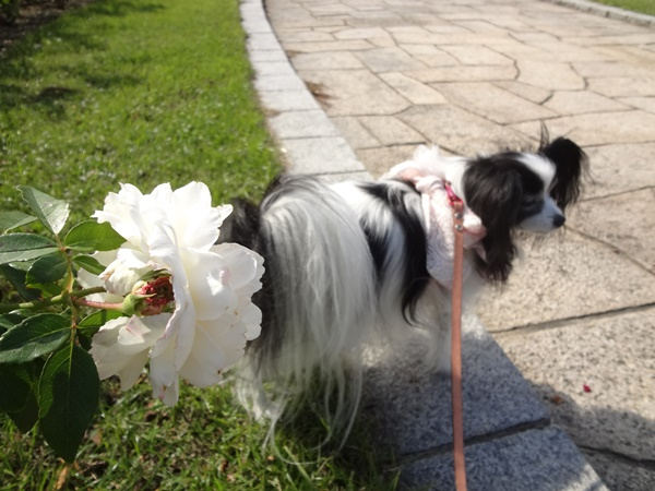 白薔薇とルビー
