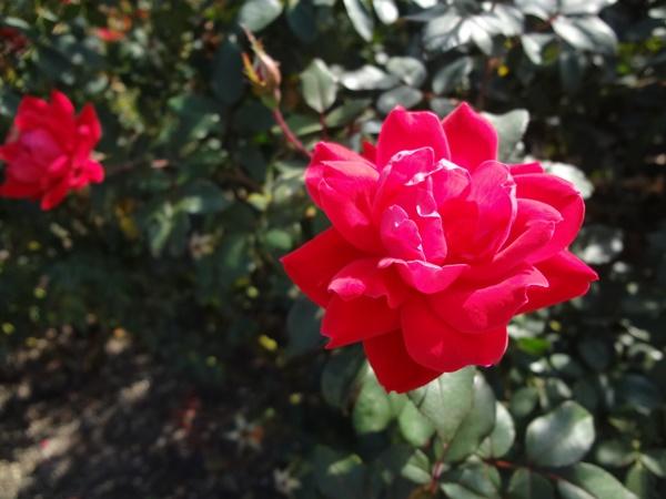 薔薇レッド