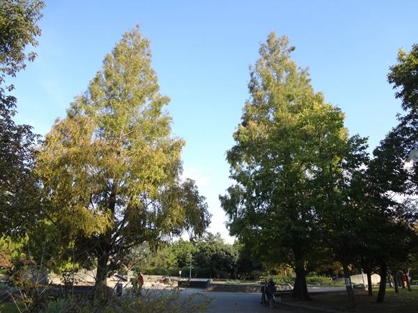 メタセコイヤの木