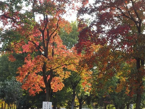 光が当たってきれいな紅葉