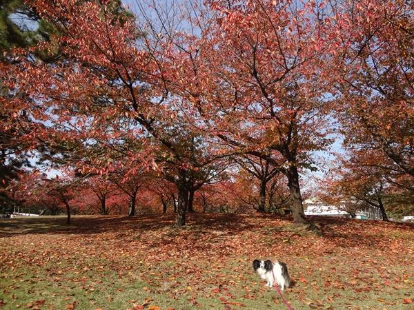 紅葉桜の木の下で