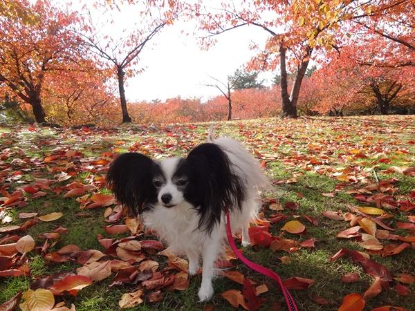 真っ赤な絨毯をお散歩2