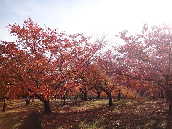 桜の紅葉2