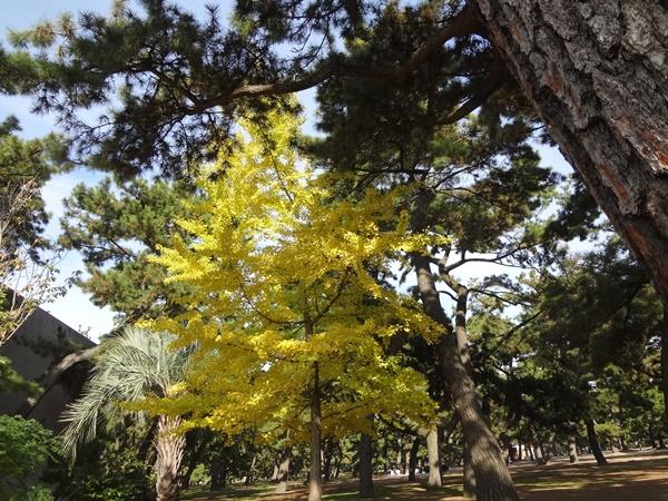 もう1本のイチョウの木