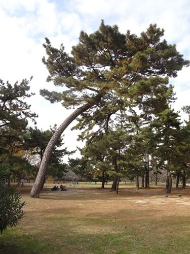 腰が曲がった松の木