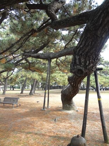 支えられた松の木1