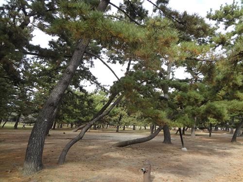 斜めに曲がって地面につきそうな松の木