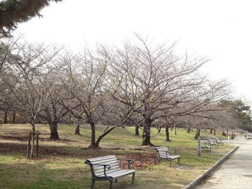 冬の公園(桜とベンチ)