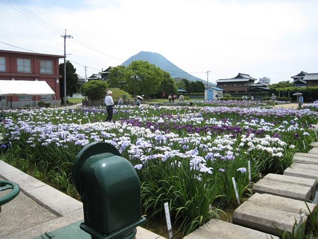 かわつ花菖蒲園