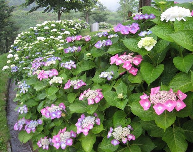 善通寺五岳の里市民集いの丘公園の紫陽花