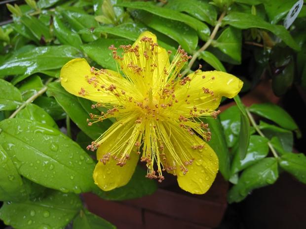 ゴールドフォームの花