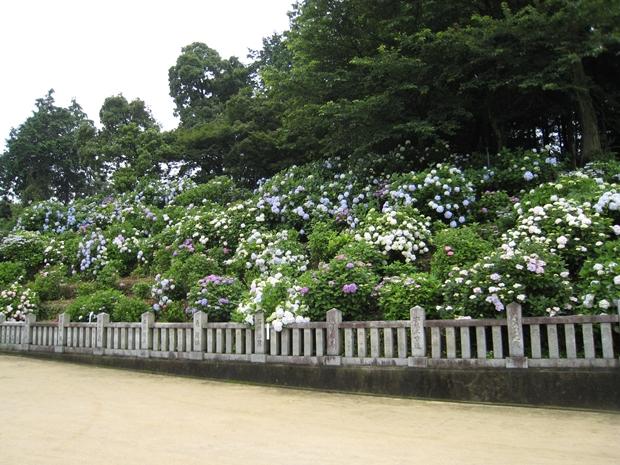 粟井神社の紫陽花
