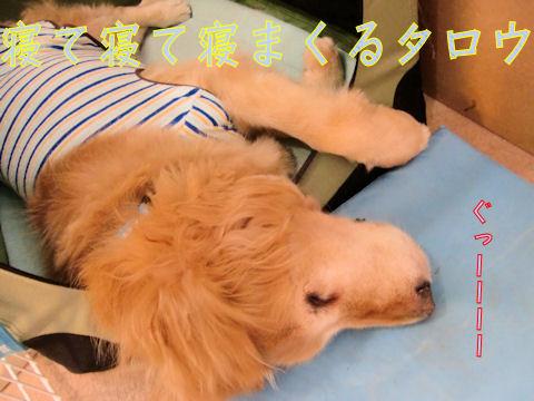 ほんと寝る子は育つわ・・・。育ちすぎだ。でかい犬だ。