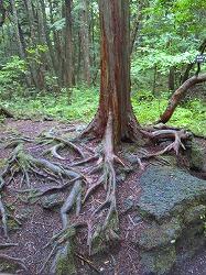 溶岩の上の樹木