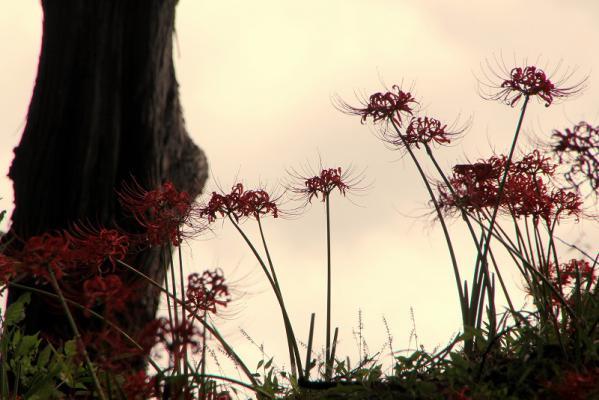 あけぼの山に咲くヒガンバナ