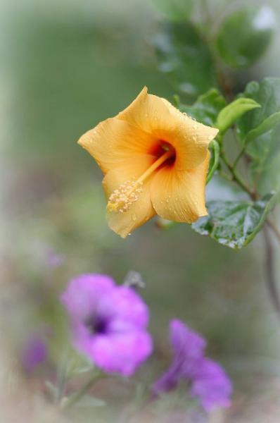 秋雨で冷たい~、夏の暑いときに咲きたかったのに・・