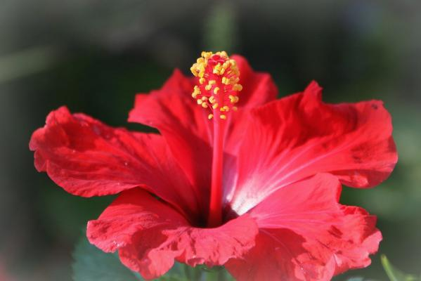 庭に咲くハイビスカス