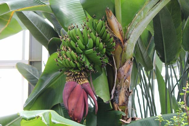 バナナ (2)