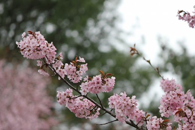 桜 (7)