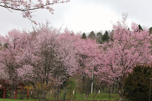 桜 (5)