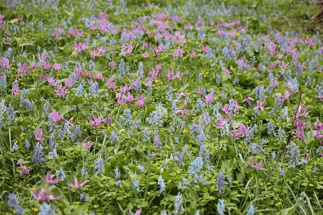 カタクリと花たち
