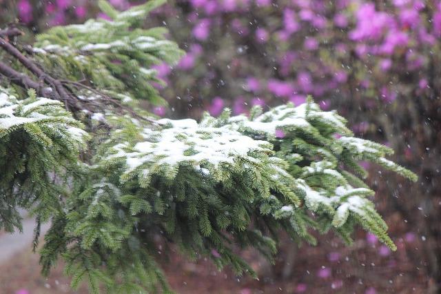 5月の雪 002