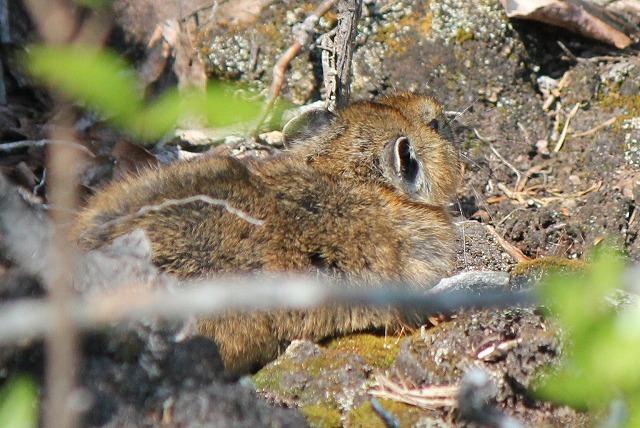 ナキウサギ (2)