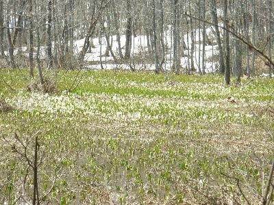 今池湿原の水芭蕉2