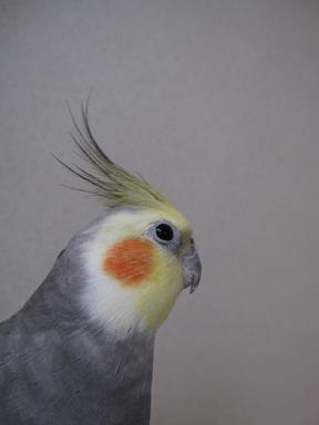 冠毛しゅいーん♪