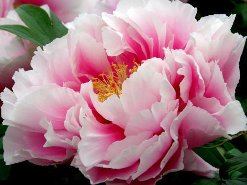 Flower king1