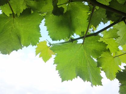 葡萄の葉s