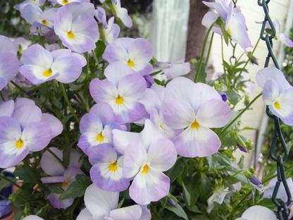 びおらうすい紫s