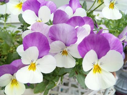 紫白ビオラs