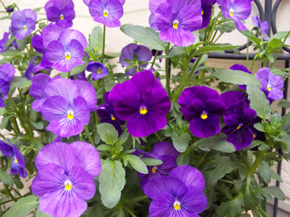 紫ビオラs