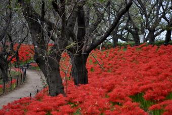 2011年「第6回 曼珠沙華祭り」002