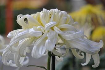 2011上高野神社「菊花展」007