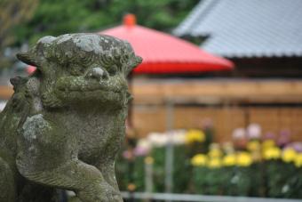 2011上高野神社「菊花展」004