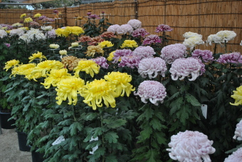 2011上高野神社「菊花展」002