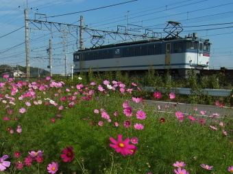 久喜コスモスロード2012_002