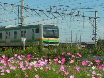 久喜コスモスロード2012_001