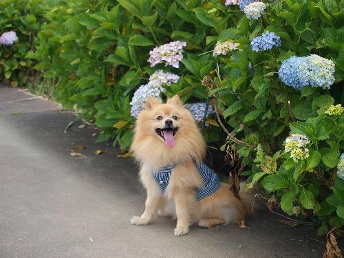菖蒲あやめ祭り 紫陽花の小道