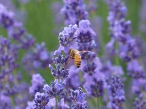 ラベンダーとハチ