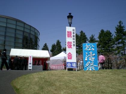 松本歯科大桜  (3)