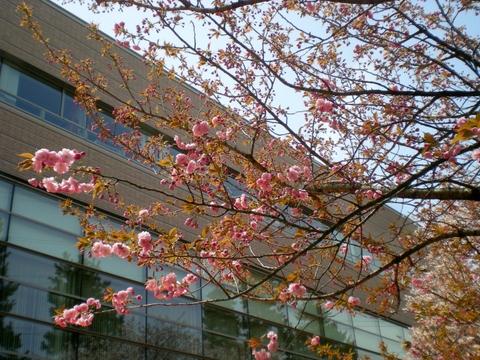 松本歯科大桜  (120)