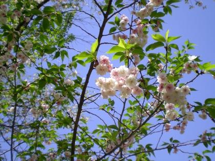 松本歯科大桜  (76)