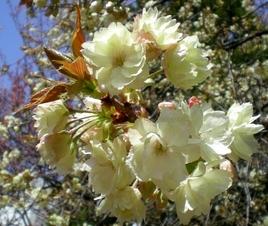 松本歯科大桜  (67)